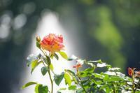 復活の神代植物公園~まずはバラ園 - 柳に雪折れなし!Ⅱ