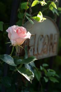 朝陽が美しかった日の6時53分~7時32分の庭(5月14日) - Reon with LR & Roses