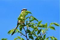 樹頭で囀ってた鳥さん - なんでもブログ2