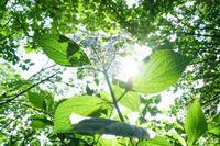復活の神代植物公園~紫陽花 - 柳に雪折れなし!Ⅱ