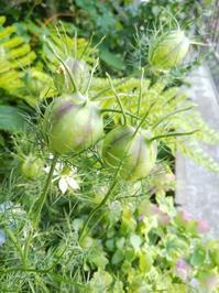 ニゲラの実、クレマチスの種、色づくミセバヤ - 小庭の園芸日記