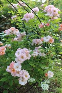 """バラ""""フラワーガール""""&アルケミラモリス - ペコリの庭と時々パン"""