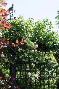 ファンタンラトゥールとペネロペの咲く庭(5月14日)♪ - Reon with LR & Roses
