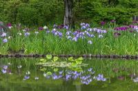 日本庭園の花菖蒲 - あだっちゃんの花鳥風月