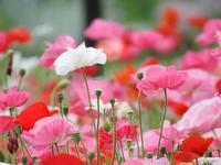 『ポピーやカリステモンの花等(フラワーパーク江南にて)』 - 自然風の自然風だより