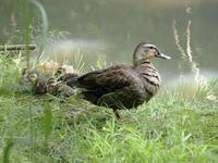 カルガモの親子 - コーヒー党の野鳥と自然パート3