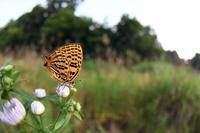 ウラナミアカシジミ(2020/06/09) - Sky Palace -butterfly garden- II