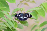 メスグロヒョウモン(2020/06/09) - Sky Palace -butterfly garden- II