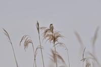 コヨシキリとナデシコ科~今週のウトナイ湖 - やぁやぁ。