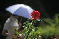 バラと日傘 - meの写真はザンス