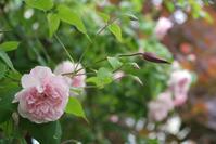 クレマチスが咲いてきて、モリシマアカシアが輝く日(5月17日)♪ - Reon with LR & Roses