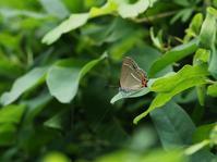 ビワで吸蜜するミドリシジミ - 蝶超天国