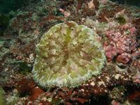 #526クビジンイソギンチャク - ランゲルハンス島の海