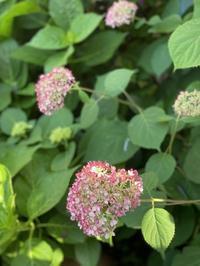 ピンクアナベル第2世代とピンクアナベル改良前品種 - 小さな庭 2