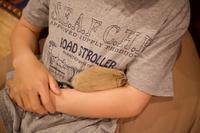 デグー、寝てる時は天使 - peddyのくまちゃん カメラを持って。