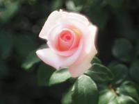 フラワーパークの薔薇3 - 光の音色を聞きながら Ⅴ