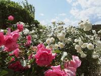 フラワーパークの薔薇4 - 光の音色を聞きながら Ⅴ