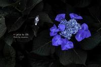 紫陽花散歩道 vol.1 - + Spice to life