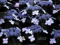 紫陽花散歩道 vol.2 - + Spice to life