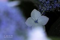 紫陽花散歩道 vol.3 - + Spice to life