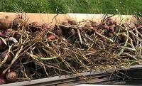 お天気と相談してタマネギの収穫をしました - 何気ない日々の事