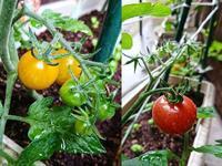 オレンジトマト フルーツトマト - NATURALLY