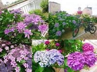 梅雨間近 紫陽花 - NATURALLY