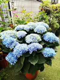 マジカルレボリューションと梅雨前の剪定 - 小庭の園芸日記