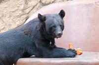 多摩動物公園サマーナイト2019①~ニンジン大好き!ツキノワグマ「ソウ」、ニホンザルの子供たち - 続々・動物園ありマス。