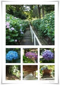 吉備津神社の紫陽花 - ひとりあそび