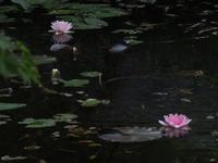 モネの池♪ - 花追い日記