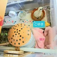 烏骨鶏のヒヨコ生後11日目 - 烏骨鶏かわいいブログ