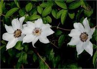 ☆季節の花・・・カザグルマ・ササユリなど☆ - 気ままなフォトライフ
