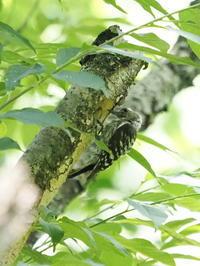 巣穴を掘るコゲラ - コーヒー党の野鳥と自然パート3