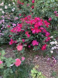 バラのお庭を訪ねて小諸2020年6月10日 - バラのある幸せな暮らし研究所