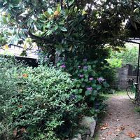 待望の紫陽花が咲き始めました!「雨の庭に映えています・・・!」編 - ドライフラワーギャラリー⁂ふくことカフェ