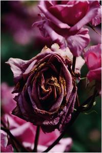 薔薇の終焉 - HIGEMASA's Moody Photo