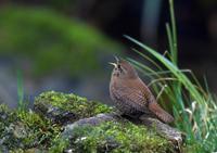 ミソサザイ - 比企丘陵の自然