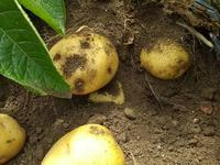 今週末!ジャガイモ収穫体験 - げんきの郷 「体験農園」