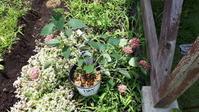 軒下にしまい忘れたアナベルと咲いた花 - わらびの庭づくり。時々猫