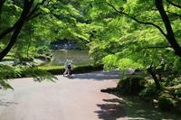 青楓と紫陽花 - 木洩れ日 青葉 photo散歩