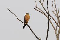 コチョウゲンボウ - 野鳥鳴く自然風景