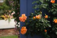 中之条ガーデンズ2020#4ビビッドカラーのローズガーデン - 風の彩りー3