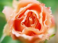 フラワーパークの薔薇5 - 光の音色を聞きながら Ⅴ
