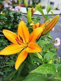 ユリが咲いた♪ - 小庭の園芸日記