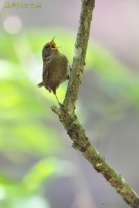 お山のミソサザイ - 奥武蔵の自然
