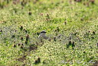 珍鳥オオカラモズさん♪3回目(誕生日に)ー在庫からー - ケンケン&ミントの鳥撮りLifeⅡ