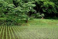 雨で19℃の朝・・・モリアオガエルの卵朽木小川・気象台より - 朽木小川・気象台より、高島市・針畑・くつきの季節便りを!