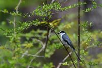森の中........サンショウクイ - 新 鳥さんと遊ぼう