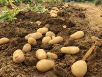 ジャガイモ三昧 - 週末農夫コーディーのイケてる鍬の振るい方